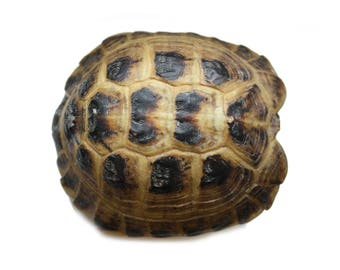 real taxidermied Russian tortoise shell // turtle // skull // taxidermy