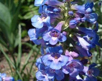 Smooth Blue Penstemon Seeds