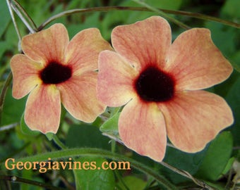 Black Eyed Susan Spanish Eyes or Thunbergia alata FREE SHIP
