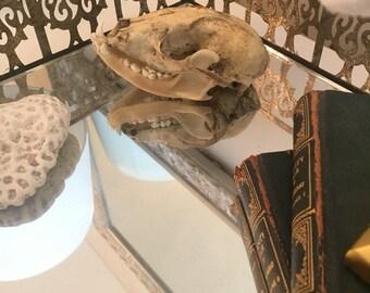 Raccon Skull Taxidermy