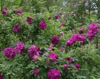 Red Rugosa Rose Bush Seeds (Rosa x rugosa Rubra) 25+ Seeds