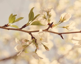 Home decor, wall art, photography, photograph, cherry blossom, flower, floral, art, nature, prints, baby, girl, nursery, room, shabby chic