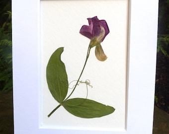 Real Pressed Flower Art Botanical Herbarium of Magenta Sweet Pea 5x7
