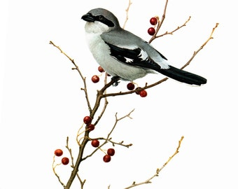 """Loggerhead Shrike painted by J F Landsdowne for the book Birds of the Eastern Forest:2 Page is approx 9 1/2"""" wide and 13 inches tall."""