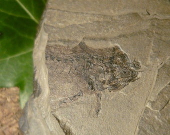 Branchiosaurus Fossil, 223g