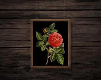 Vintage Rose Print - Vintage Print - Vintage Botanical Print - Botanical Digital Print - Digital Download - PNG - JPG - No Background