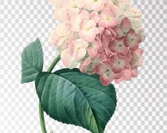 "Hortensia Clip Art Flower - 16""x20"" Transparent Background Clipart PNG and JPG Illustration Instant Download"