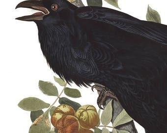Raven Print - Audubon print - Black Bird- Vintage Bird Illustration