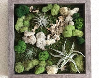 Framed Vertical Wall Garden with Three Air Plants (Tillandsia) and Reindeer Moss with Lichen 10x10 inches 4 frame color options