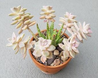 Succulent Arrangement in Terra Cotta Side-Draining Planter