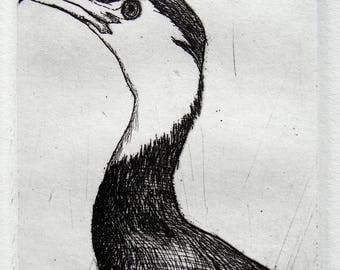 Original bird etching:  pied shag