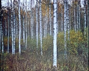 Norway Print, Autumn, Birch Grove, Photography Art Print, Norwegian Nature, Analog, Landscape, Forest, Scandinavian, Home, Office Decor