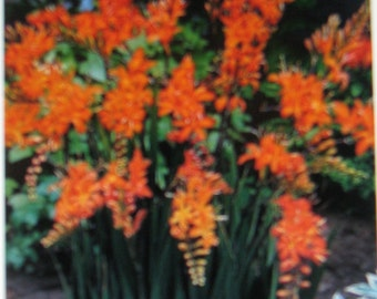 THINK SPRING think FLOWERS 30 Crocosmia bulbs,  will brighten up your garden, these  flower bulbs do well planted in spring and summer