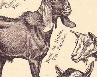 Beautiful Antique French  Print Encylopedia Page 1920s Engraved Ilustrations Goats paper projects scrapbooking, collage