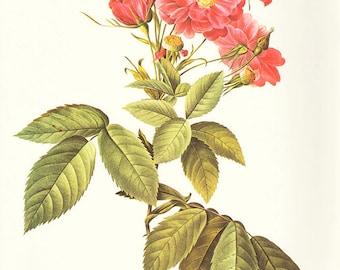 Boursault's Rose art print vintage antique wall art pink flower art print Victorian art print antique rose art rose print prints 88