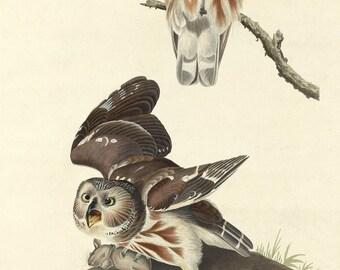 John James Audubon Reproductions - Birds of America,  Little Owl, 1834. Fine Art Print.