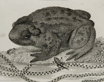 1808 Antique print of a COMMON TOAD. Amphibians. Frogs. Toads. Natural History. 209 years old engraving