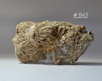 Crinoid Calyx/Feathery Feeding Arms Fossil Specimen - Kentucky