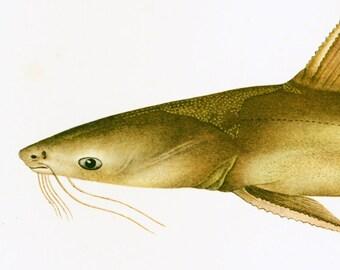 1932 Antique Catfish Print. Freshwater Gamefish Print. Ichtyoloy Wall Art. Ocean Decor.