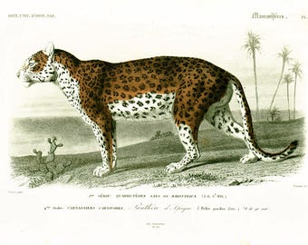 1849 Antique Leopard Print, Wild Cat, Orbigny Handcolored Lithograph Zoology Natural History