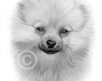 pomeranian puppy pencil drawing print a4 size artwork signed by artist gary tymon