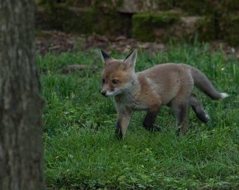 Baby Red Fox photographic print