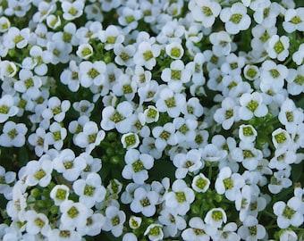 1,000+ Alyssum Seeds- Carpet of Snow