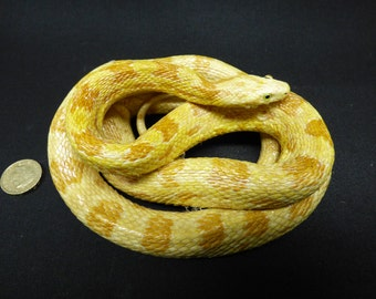TAXIDERMY CORN SNAKE (no.71) It was over 115cm when stretched out. Reptile.