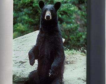 Canvas 24x36; American Black Bear