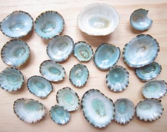 Discounted Damaged Limpet Shells-Sea Shells Sale-Limpet Shells Bulk-Beach Home Decor-Wedding Favors-Wedding Decorations-Sea Shells Bulk-Sale