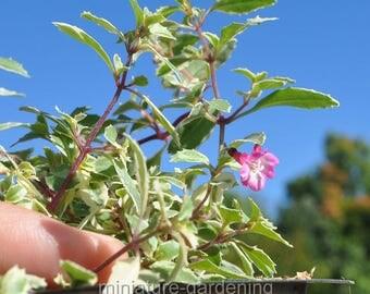 Fuchsia, Lottie Hobby Variegated, Fuchsia for Miniature Garden, Fairy Garden