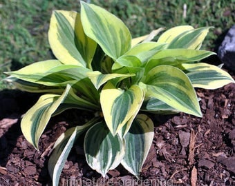 Hosta, Cameo for Miniature Garden, Fairy Garden
