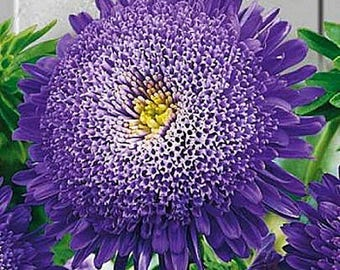 Aster Flower Seeds Veronica annual from Ukraine#966