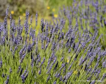 Lavender Field 3 - Sequim WA