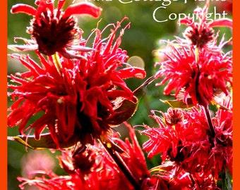 Monarda Cambridge Scarlet Red Bee Balm Bergamot - 1 LITRE POT