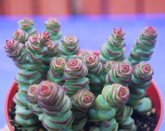 Crassula rupestris var. marnieriana , Baby Necklace Succulent, garden