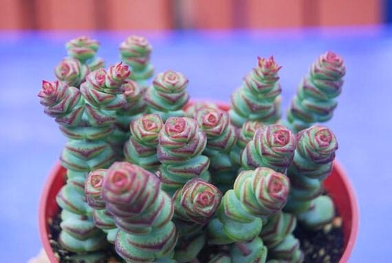 Crassula Rupestris Var Marnieriana Baby Necklace Succulent
