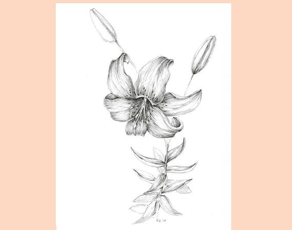 Tiger Lily Flower Drawing Garden Plants Illustration