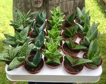 Set of 5 Mixed Aloe Plants in 5.5cm Pots, Indoor House Plants, Succulents, Terrarium