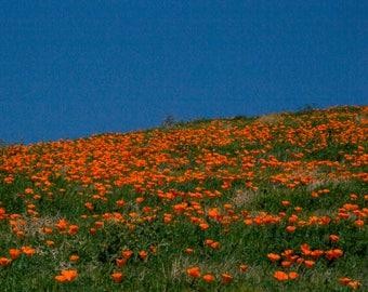 Poppy fields - California Superbloom 2017