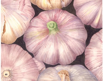 Botanical Vegetable Art Print - Garlic Variety - Watercolor Fine Art Painting by Sally Jacobs - Kitchen Restaurant Wall Décor