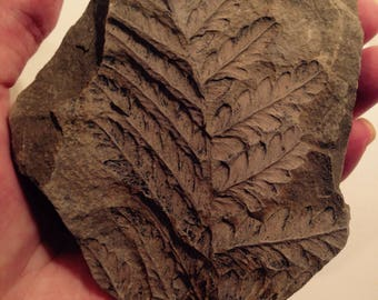 Fossil with an ancient plant print