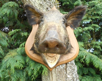 Gorgeous Vintage French Mounted Boars Head