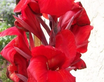 5 Red Canna Lily bulbs