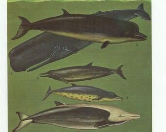 1960's Vintage Whale Lithograph - Sperm Whale, Sperm Whales, Sperm Whale Print, Sperm Whale Lithograph, Sperm Whale Plate, Whale, Whales