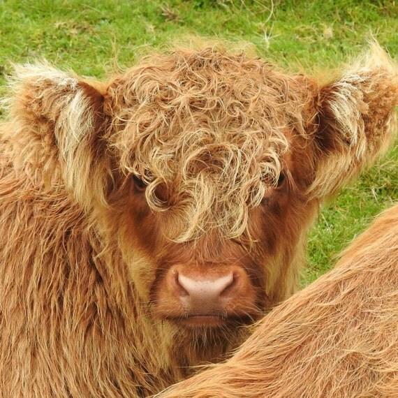 baby highland cow, taken on skye, scotland