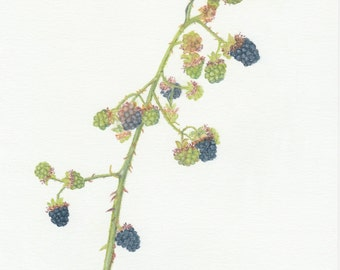 Original botanical pastel pencil drawing of a branch with blackberries