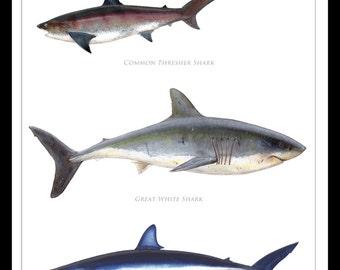 Atlantic Ocean Sharks Poster