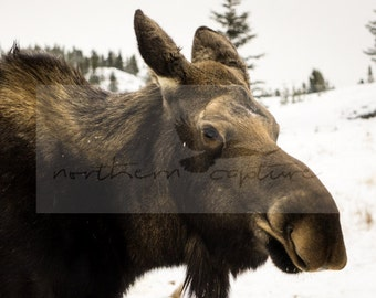 Moose Digital Photo Instant Download