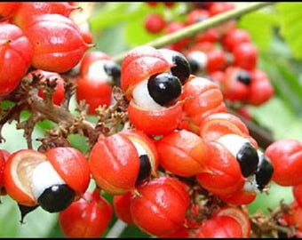 10 GUARANA Paullinia Cupana - Flowering Vine / Climbing Shrub / Bush Small Tree Seeds